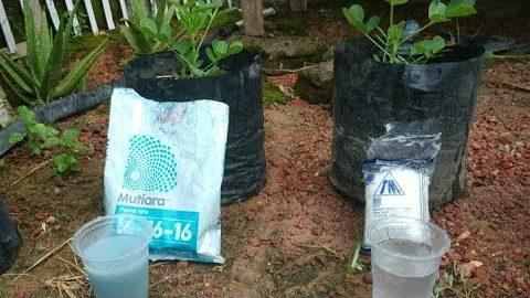 Pupuk NPK mutiara vs garam dapur untuk tanaman kacang tanah  manakah buahnya yang paling banyak
